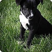 Adopt A Pet :: Dahlia - Broomfield, CO