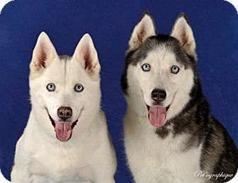 Siberian Husky Dog for adoption in Las Vegas, Nevada - Akayla