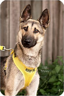 German Shepherd Dog Mix Puppy for adoption in London, Ontario - Willy