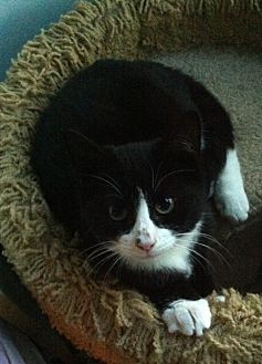American Shorthair Cat for adoption in Cranford/Rartian, New Jersey - Spencer
