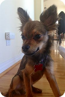 Chihuahua Mix Dog for adoption in Encino, California - Haymitch - Hoarding dog