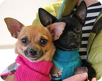 Chihuahua/French Bulldog Mix Dog for adoption in Knoxville, Tennessee - Peeta & Prim