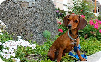 Dachshund Mix Dog for adoption in Los Angeles, California - Struedel - 9lbs