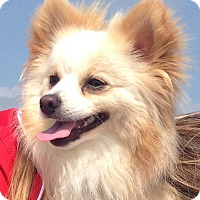 Adopt A Pet :: *Jersey - PENDING - Westport, CT
