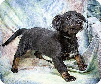 Dachshund Mix Puppy for adoption in Anna, Illinois - ONYX