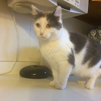 Domestic Shorthair Cat for adoption in St. Charles, Illinois - Baby