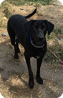 Labrador Retriever/Great Dane Mix Dog for adoption in Waretown, New Jersey - SHEBA