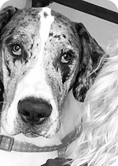 Great Dane Mix Dog for adoption in Austin, Texas - Marley