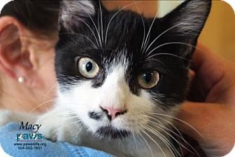 Domestic Shorthair Cat for adoption in Belle Chasse, Louisiana - Macy