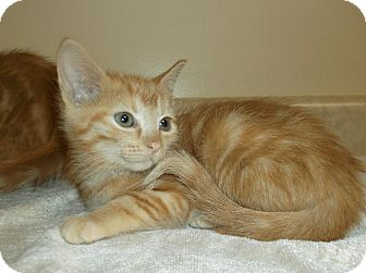 Domestic Shorthair Kitten for adoption in Circleville, Ohio - Scarlett