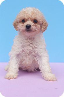 Maltese/Poodle (Miniature) Mix Puppy for adoption in Auburn, California - Cupcake