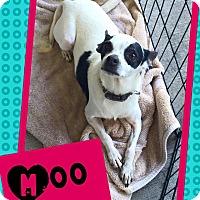 Adopt A Pet :: Moo - Scottsdale, AZ