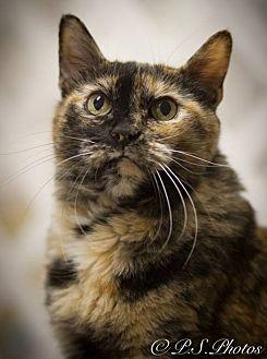 Calico Cat for adoption in Belton, Missouri - Maggie Magpie