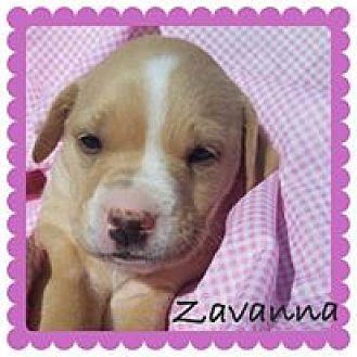 Labrador Retriever/Boxer Mix Puppy for adoption in ST LOUIS, Missouri - Zavanna
