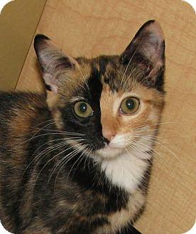 Domestic Shorthair Kitten for adoption in Tulsa, Oklahoma - Dory