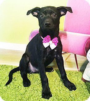 Labrador Retriever Mix Puppy for adoption in Castro Valley, California - Kalie