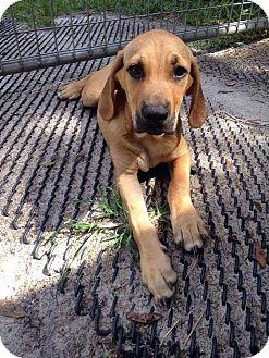 Labrador Retriever/Hound (Unknown Type) Mix Puppy for adoption in Groveland, Florida - Kovu