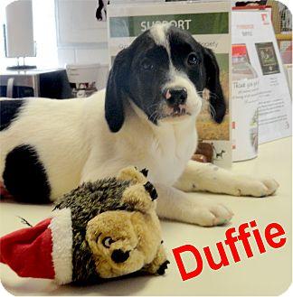 Labrador Retriever Mix Puppy for adoption in Ozark, Alabama - Duffie