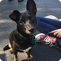 Chihuahua/Miniature Pinscher Mix Puppy for adoption in Alpharetta, Georgia - Pippa