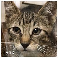 Adopt A Pet :: Lynx - Westerly, RI