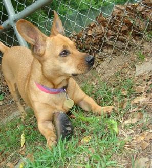 Terrier (Unknown Type, Small) Mix Dog for adoption in Auburn, Alabama - Amber