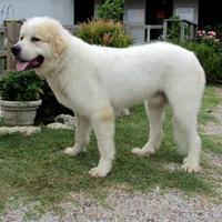 Adopt A Pet :: Yogi - Tyler, TX