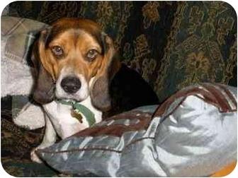 Beagle Dog for adoption in Seneca, South Carolina - MASON