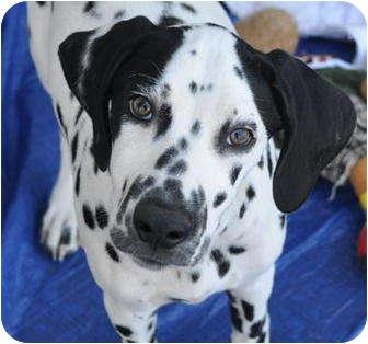 Dalmatian Mix Dog for adoption in La Habra Heights, California - Dazzling Diamond