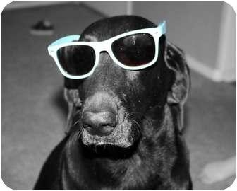 Labrador Retriever Dog for adoption in Gilbert, Arizona - EMMA