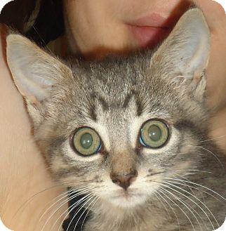 Domestic Shorthair Kitten for adoption in Chicago, Illinois - KITTENS - Nick Fury