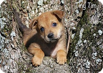 Terrier (Unknown Type, Small) Mix Puppy for adoption in Albany, New York - Tiny Tim