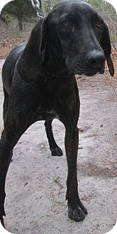 Plott Hound Mix Dog for adoption in Forked River, New Jersey - Angel