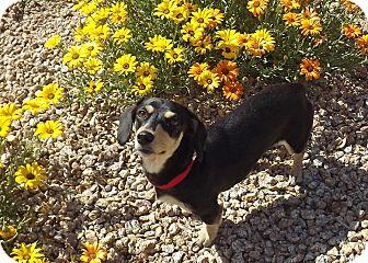 Dachshund Mix Dog for adoption in Phoenix, Arizona - Priscilla