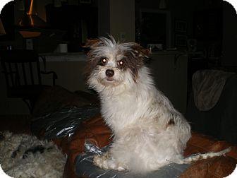 Chinese Crested/Maltese Mix Dog for adoption in Apex, North Carolina - Kiki