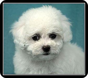 Maltese/Poodle (Miniature) Mix Puppy for adoption in Covina, California - Jillyann