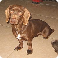 Adopt A Pet :: Truffles - Chandler, AZ