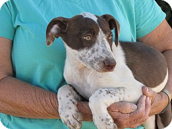 Pointer/Jack Russell Terrier Mix Puppy for adoption in Nuevo, California - GYPESEE