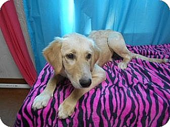 Golden Retriever Mix Dog for adoption in East Hartford, Connecticut - Jenna MEET ME 10/17