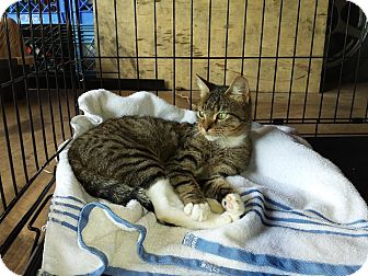 Domestic Shorthair Cat for adoption in Clarksville, Tennessee - Jefferson