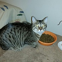 Domestic Shorthair Kitten for adoption in Clarksville, Tennessee - Livy