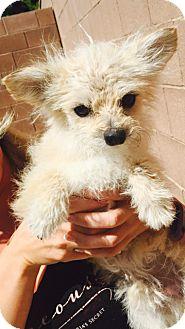 Terrier (Unknown Type, Small)/Pomeranian Mix Dog for adoption in Las Vegas, Nevada - Einstein
