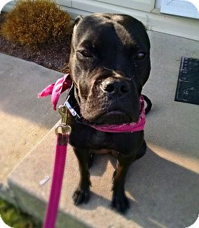 Boxer/American Staffordshire Terrier Mix Dog for adoption in Chicago, Illinois - Ripley