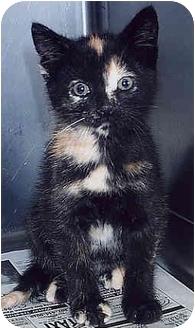 Domestic Shorthair Kitten for adoption in Owatonna, Minnesota - Reba