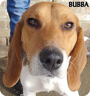 Beagle Mix Dog for adoption in Lapeer, Michigan - BUBBA--CUTIE BEAGLE BOY