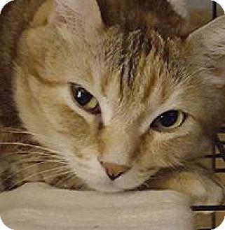 Domestic Shorthair Cat for adoption in Hazel Park, Michigan - Amberle