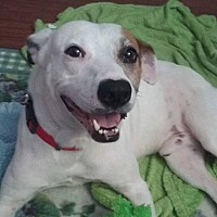 Pointer/Terrier (Unknown Type, Medium) Mix Dog for adoption in Lawrenceville, Georgia - Bert