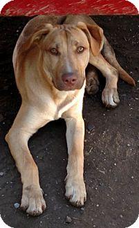 Labrador Retriever Mix Dog for adoption in Chesterfield, Michigan - Duke-Courtesy Post