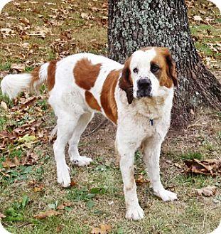 St. Bernard Mix Dog for adoption in Oswego, Illinois - Jewelz