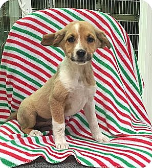 Collie/Labrador Retriever Mix Puppy for adoption in Windham, New Hampshire - Paige
