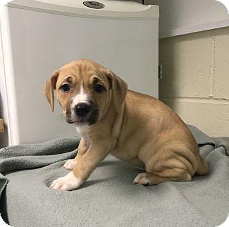 Hound (Unknown Type) Mix Puppy for adoption in Burgaw, North Carolina - Amber